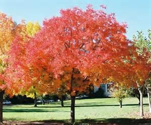 Pisitasio Tree